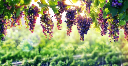 Best grapes for wine
